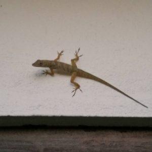 presamedfamiljen bequia lizard mariasgarn